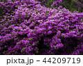満開のミヤマキリシマ 44209719