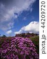 高原の花(ミヤマキリシマ) 44209720