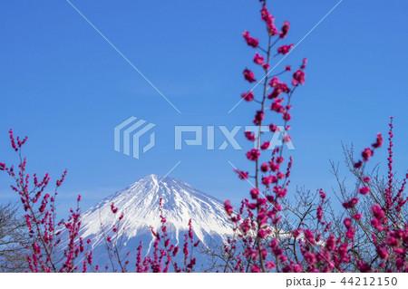 紅梅と富士山 44212150