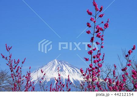 紅梅と富士山 44212154