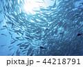ギンガメアジ 魚群 魚の写真 44218791