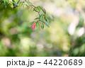 秋 葉 紅葉の写真 44220689