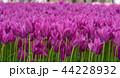 チューリップ 花 春の写真 44228932