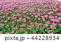チューリップ 花 春の写真 44228934