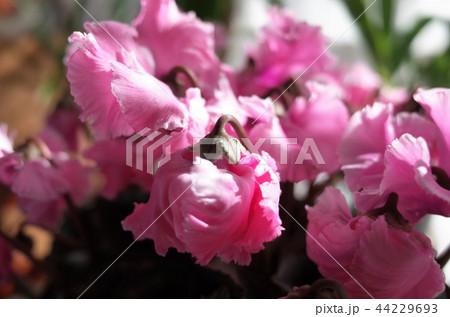 ピンクの美しい花 44229693