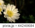 白い菊の花 44240684