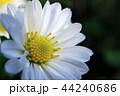 白い菊の花(クローズアップ) 44240686