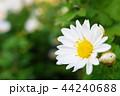 白い菊の花 44240688