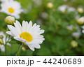 白い菊の花 44240689