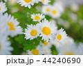 満開の白菊 44240690