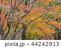紅葉 秋 自然の写真 44242913