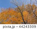 紅葉 秋 晴れの写真 44243309