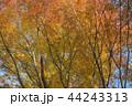 紅葉 秋 晴れの写真 44243313