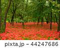 巾着田 彼岸花 曼珠沙華の写真 44247686