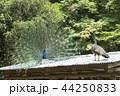 大牟田市動物園 クジャク、 44250833