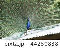 大牟田市動物園 クジャク、 44250838
