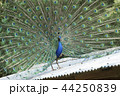 大牟田市動物園 クジャク、 44250839