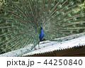大牟田市動物園 クジャク、 44250840
