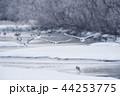 樹氷に囲まれたねぐらから飛び立つタンチョウ(北海道・鶴居) 44253775