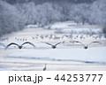 樹氷に囲まれたねぐらから飛び立つタンチョウ(北海道・鶴居) 44253777