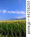 水田 稲 米の写真 44256205
