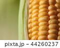 Close up shot Fresh ripe and peeled sweet corn 44260237