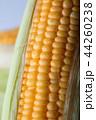 Close up shot Fresh ripe and peeled sweet corn  44260238