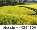 米 畑 農作物の写真 44264500