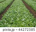 野菜畑 44272385