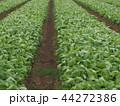 野菜畑 44272386