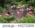 フラミンゴ 紅フラミンゴ 池の写真 44272806