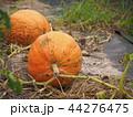 カボチャ 野菜 秋の写真 44276475