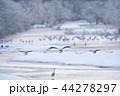 樹氷に囲まれたねぐらから飛び立つタンチョウ(北海道・鶴居) 44278297