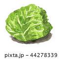 野菜 キャベツ 白バックのイラスト 44278339