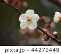 早春に咲く白い梅花 44279449