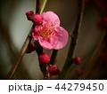 早春に咲く紅梅 44279450