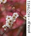 紅梅を背景に咲く白い梅花 44279451