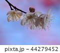 早春に咲く白い梅花 44279452