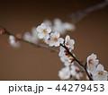 早春に咲く白い梅花 44279453