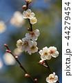 早春に咲く白い梅花 44279454