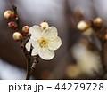 早春の梅園に咲いた白梅 44279728