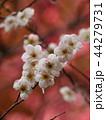 紅梅を背景に咲く白い梅花 44279731