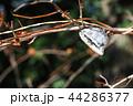 カマキリ 蟷螂 ムネアカハラビロカマキリの写真 44286377