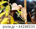 カマキリ 蟷螂 チョウセンカマキリの写真 44286535
