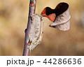カマキリ 蟷螂 チョウセンカマキリの写真 44286636