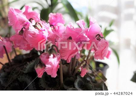 ピンク色の美しい花 44287024