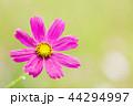 コスモス 秋桜 水滴の写真 44294997