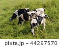 乳牛 牛 放牧の写真 44297570