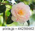 椿 花 開花の写真 44298462