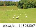 スコットランドの羊牧場 44308607